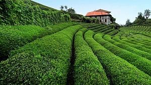 2019 yılı yaş çay taban fiyatı 3 lira 10 kuruş olmalı!