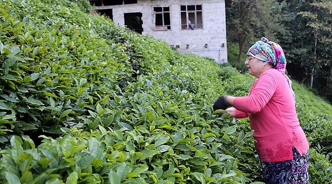 Çay ihracatının şampiyonu Rize oldu