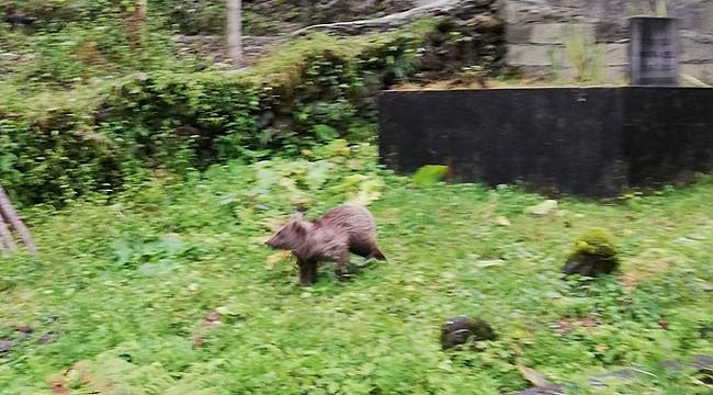 Rize'de yiyecek bulamayan ayı yavrusu kümese girdi