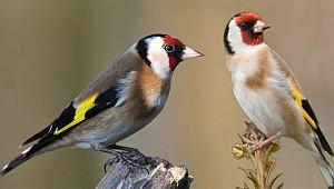 Rize'de koruma altındaki kuşları yakalayana ceza