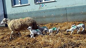 Bafra ırkı koyun, 6 kuzu doğurdu