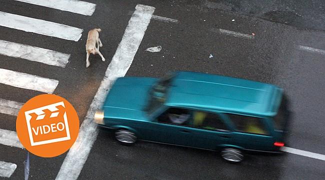 Rize'nin Trafik Polisi sokak köpekleri