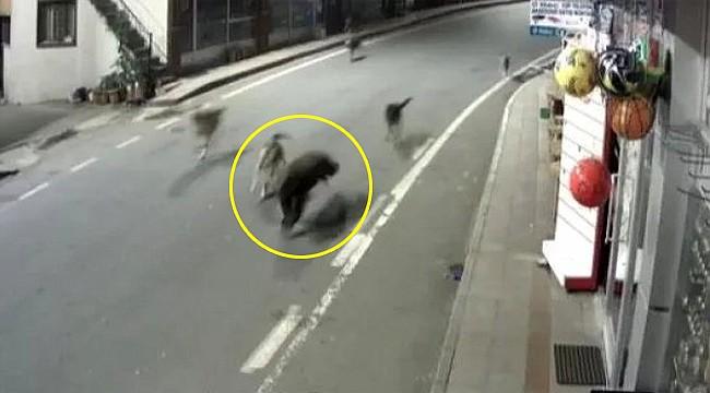 Çamlıhemşin'de ilçe merkezine inen ayıyı köpekler kovaları