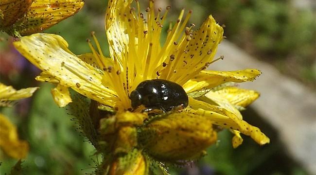 Rizeli arıcı, kantaron çiçeğinden yağ ve krem elde ediyor
