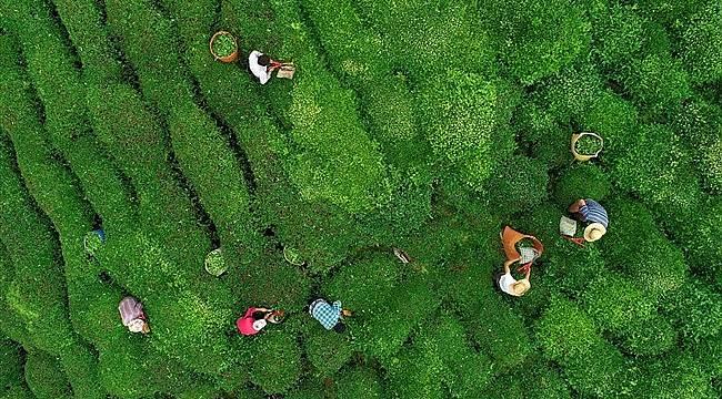 Çay üreticileri sokağa çıkma yasağından etkilenmeyecek