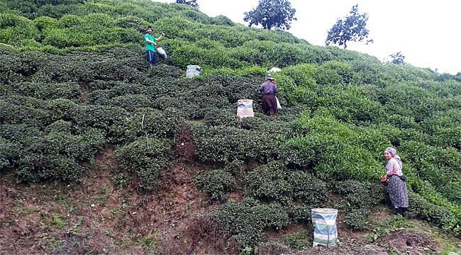 Rize'de kampanya açılmadan üretici çaylığa girdi