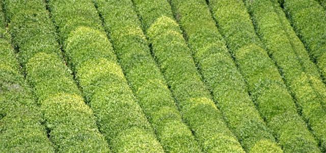 Çay bahçelerinin yenilenmesi projesi onaylandı