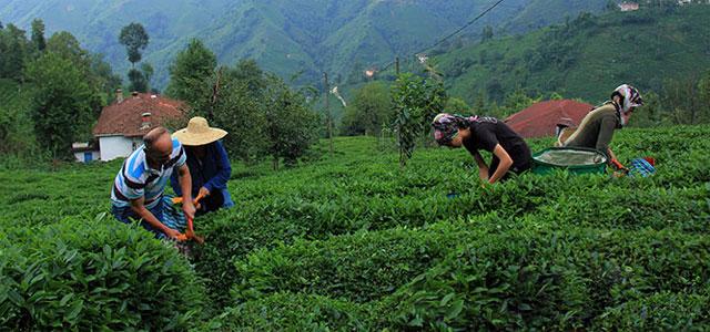 İl dışındaki çay üreticileri nasıl gelecek? İşte o genelge